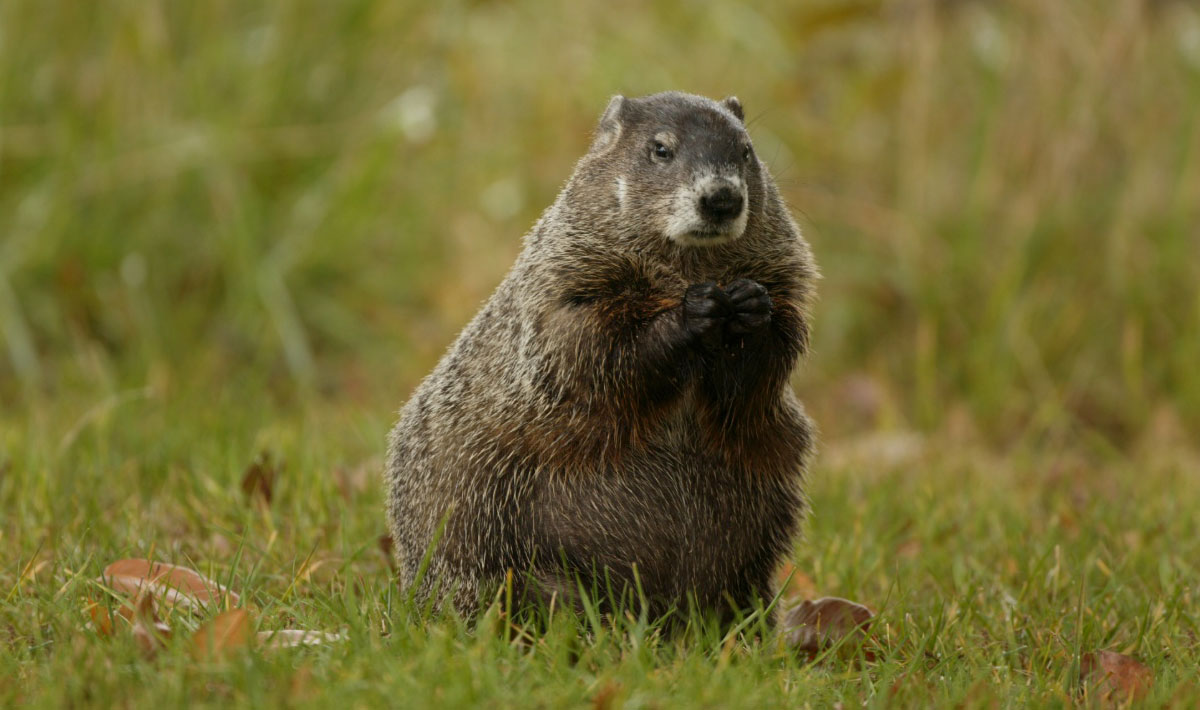 Woodchuck Removal