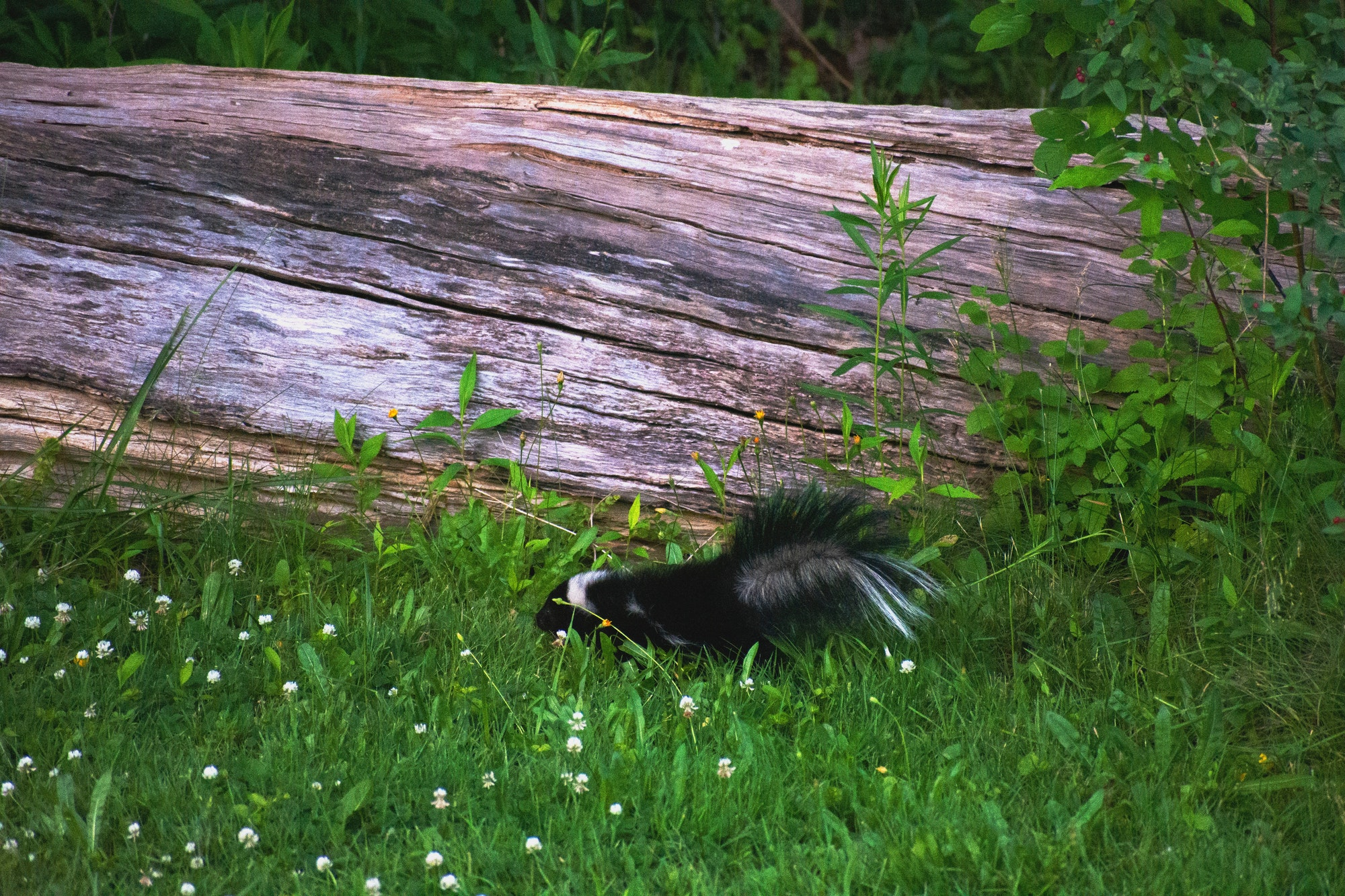 A baby skunk in the green grasses of clover venturing near an old fallen tree trunk and on a mission
