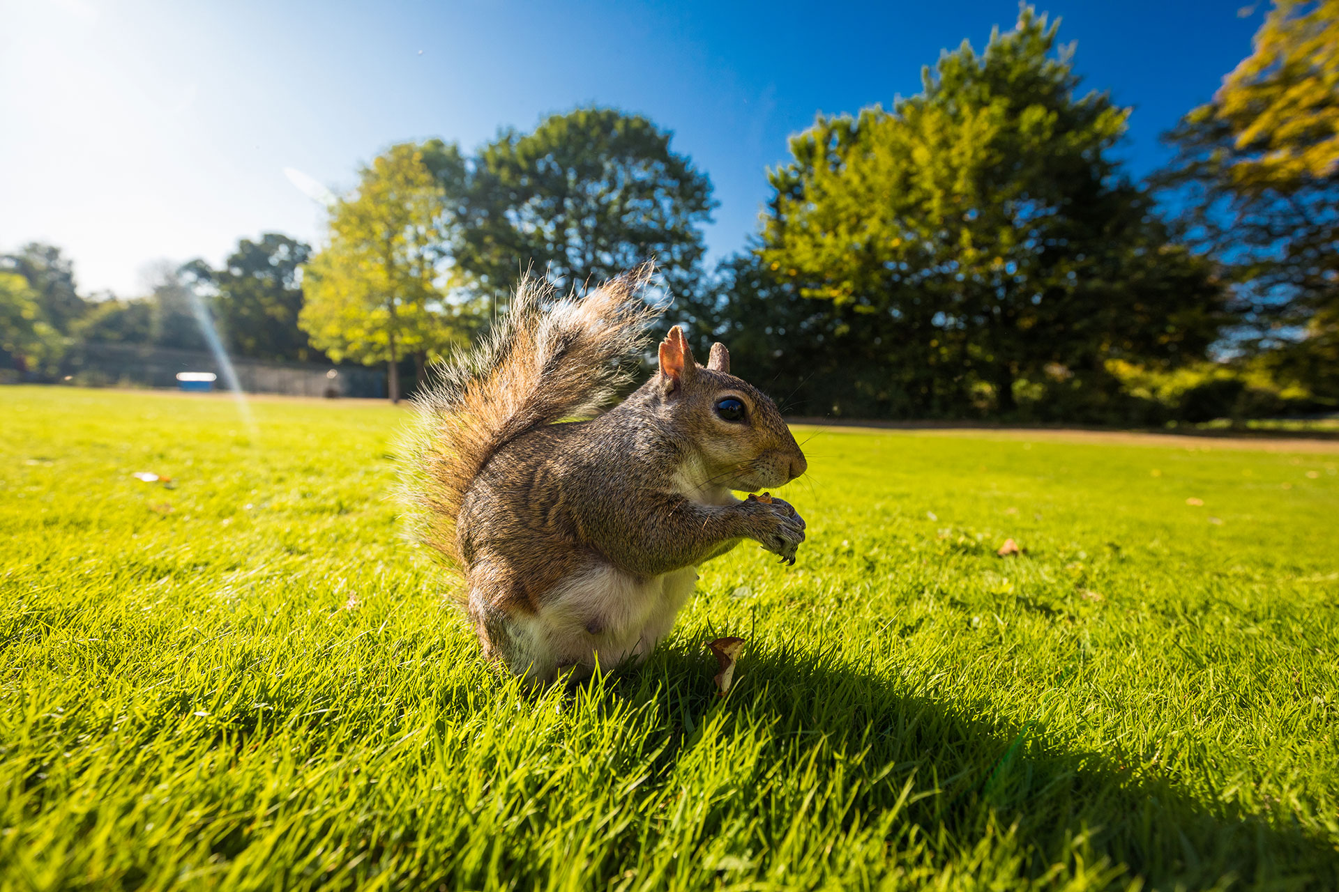 grey-squirrel-eating-a-nut-on-a-grass-in-the-park--JMTLQ6M