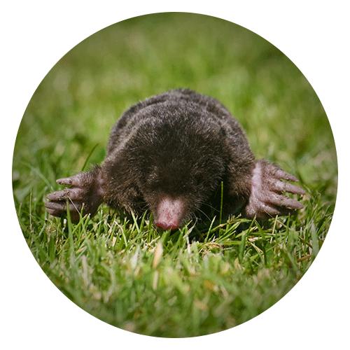 Mole Removal Services