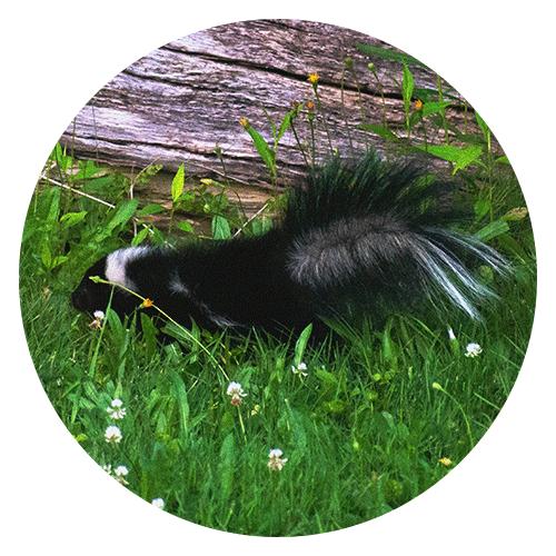 Skunk Removal Services