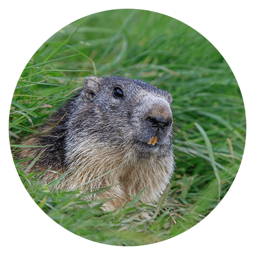 Woodchuck Removal Services